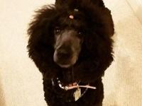 Stunning Moyen poodle female Ckc and AKC registered Hip