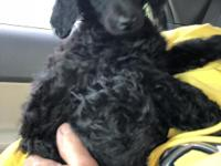 Akc standard poodle black male. Last one of the litter.