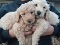 STANDARD POODLE PUPPY, RINGS BELL TO GO OUT POTTY