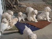 Beautiful white or cream A.K.C. Standard Poodle pups.