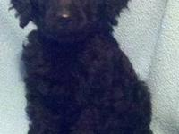 Standard Poodle pups - AKC male and female available. 8
