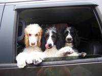 Stunning new litter of AKC registered Standard Poodle