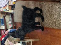 Ckc registered standard poodle pups . Dob Oct 25 2017