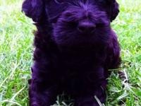 We have 3 Standard Poodle pups that will be ready this