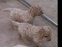 Pure Reproduced Specification Poodle Pups. Birthed on