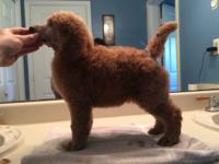 Three darling female AKC Apricot Standard Poodle Pups.
