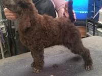Beautiful UKC Standard Poodle babies. 1 brown male, 1