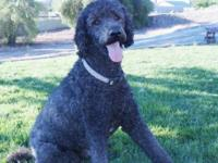 Dozer is a black (blue) Standard Poodle. He is about 65