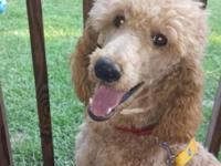 standard poodle apricot male for stud only last two