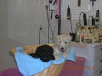 2 Male Standard Poodle Puppies, Still Waiting for their