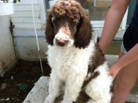 We are selling all of our standard poodle adults.They