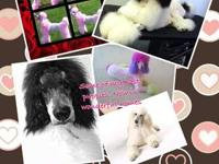Standard poodles akc registered.1 male left from litter