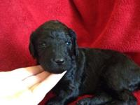 Beautiful standard poodle puppies AKC Limited