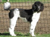 FOR SALE; beautiful blk/wht standard poodle