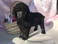 I have 2 female phantom poodles ready to be homed