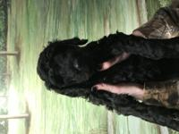for sale ckc registered Standard Poodle puppies. Vet