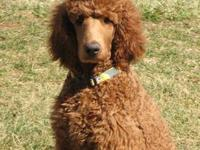 Top quality standard poodle pups ! Red and Apr pups ,