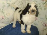 Requirement Poodle young puppies, striking black and