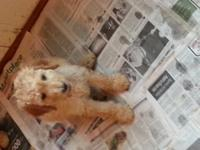 AKC Standard Poodle Pups, females born Sept 14, 2014.