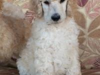 Quality AKC Standard Poodle puppies, born