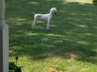 I have two female Standard Poodles to rehome. These ARE