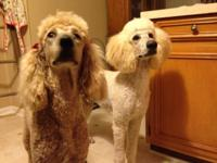 I have two apricot standard poodles, who are both a