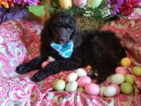 I have a litter of AKC Standard Poodle pups. I have