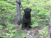 BB is a basic black American coat male schnauzer, with