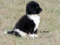 Beautiful litter of Standard Poodles from Scarlett and