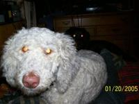 purebred standard poodle,cream color mom and dad both