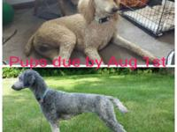 We have 2 litters of Standard Poodles coming. Both