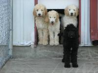 Standard poodle Puppies CKC registered with Full