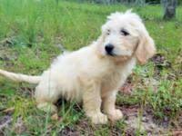 F1 English Cream Goldendoodles from multi-champion 100%