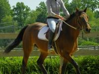 Standardbred - Addison - Medium - Adult - Female -