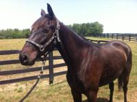 Standardbred - Chance - Small - Adult - Male - Horse