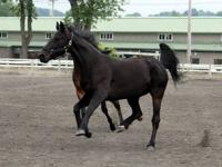 Standardbred - Chip - Small - Adult - Male - Horse