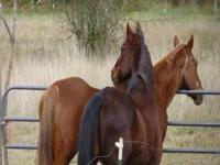 Standardbred - Frankie And Sammy - Large - Senior -