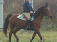 Standardbred - Golumpki - Large - Senior - Female -