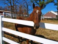 Standardbred - Ladybug - Large - Adult - Female -
