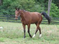 Standardbred - Lea - Medium - Young - Female - Horse
