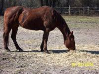 Standardbred - Molly - Medium - Young - Female - Horse