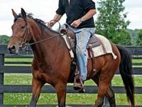 Standardbred - Sammy - Medium - Young - Male - Horse