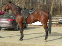Standardbred - Sandi - Large - Young - Male - Horse