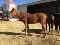 Standardbred - Scarlet - Medium - Young - Female -