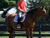 Standardbred - Breccia - Large - Senior - Male - Horse