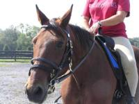 Standardbred - Fred Astaire - Small - Senior - Male -