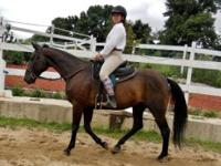 Standardbred - Jiffy - Large - Adult - Male - Horse