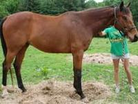 Standardbred - Lil Troy - Medium - Senior - Female -