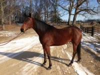 Standardbred - Netback - Small - Adult - Male - Horse