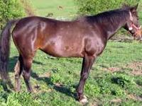 Standardbred - Shada - Medium - Adult - Female - Horse